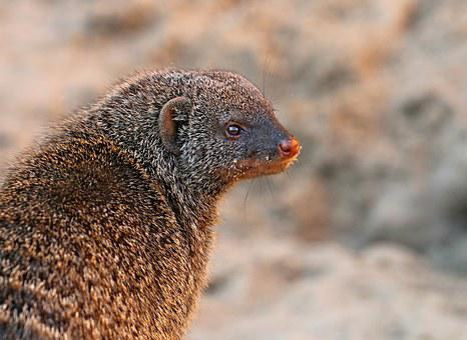 Mongoose, Predator, Beast, Snout, Fur, Hunter, Watchman
