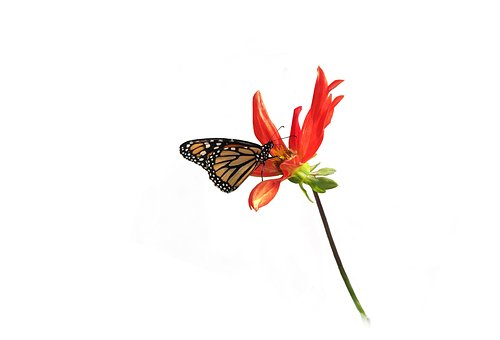 Monarch, Butterfly, Dahlia, Isolated