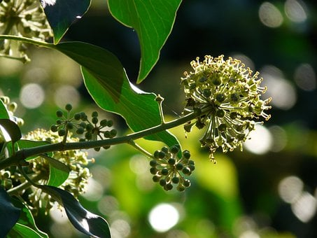 Inflorescence, Ivy, Common Ivy, Hedera Helix, Climber