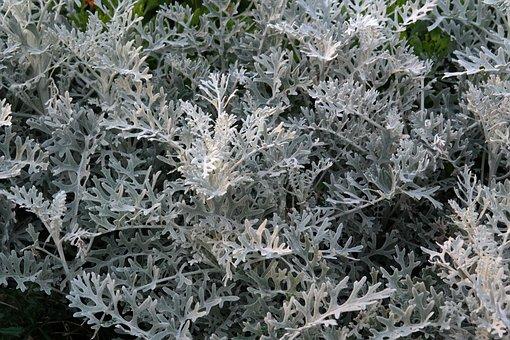 White Fuzzy Groundsel, Plant, Leaves, White, Grey