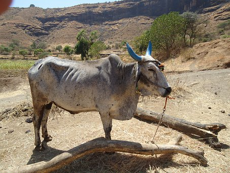 Bullock, Animal, Cattle, Domestic, Livestock, Ox