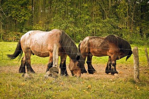 Horses, Draft Horses, Livestock, Workhorse