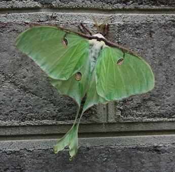 Moth, Green, Luna, Bug, Insect, Macro, Wings, Unusual
