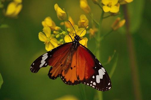 Monarch Butterfly, Mustard Flower, Nature, Animal