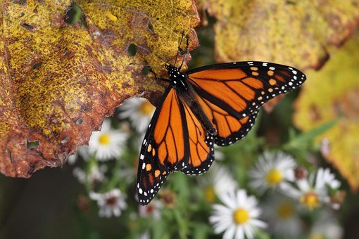 Butterfly, Orange, Red Admiral, Insect, Nature, Wing