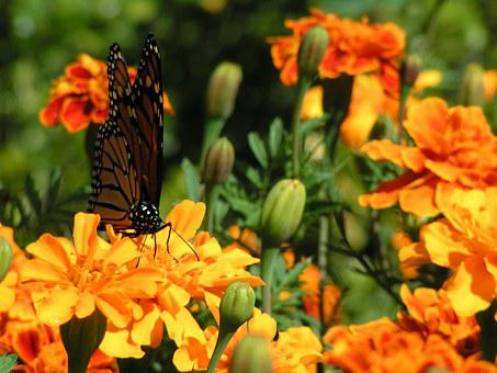 Marigolds, Orange Flowers, Butterfly, Monarch