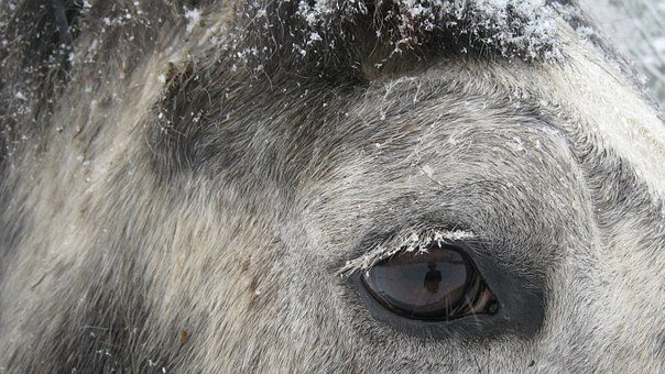 Horse, Eye, Horse Head, Lashes, Percheron, Draft