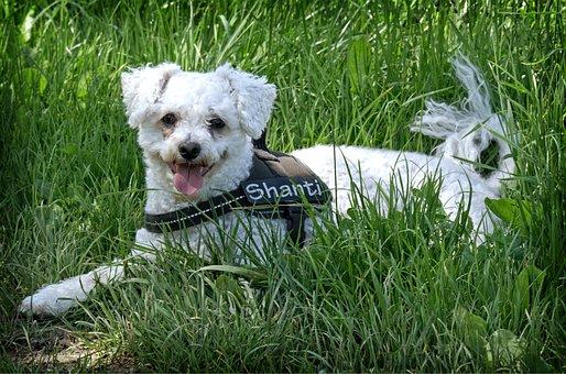 Bichon Frise, Dog, Lying, Meadow, Grass, Pet, Rest
