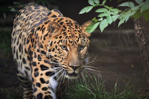 Leopard, Beast, Animal, Mammal, Zoo, Animals, Predator