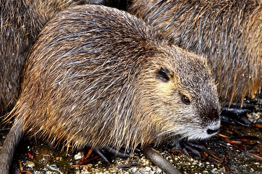 Nutria, Rat, Myocastor Coypus, Coypu, Beaver Tail