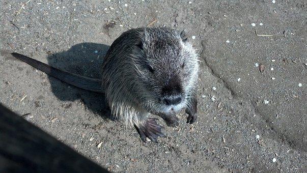 Nutria, Myocastor Coypus, Coypu, Beaver Tail, Rat Tail