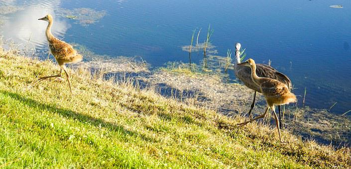 Sand Hill Cranes, Baby, Brown, Fuzzy, Nature, Water