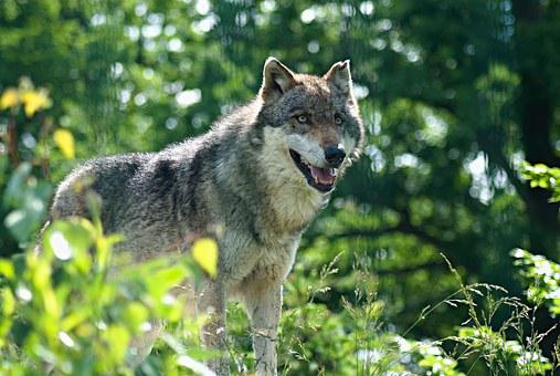 Wolf, Zoo, The Zoological Garden, Zoo Enclosure, Animal