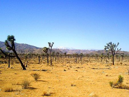 Joshua Tree, National Park, Nature, Cactus, Tree