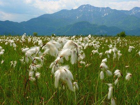 Cottongrass, Bog Meadow, Blossom, Bloom, White, Nature