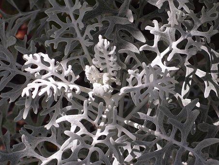 White Fuzzy Groundsel, Plant, Macro, White, Nature