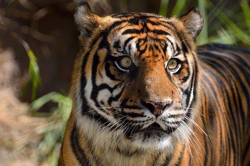 Sumatran Tiger, Wildlife, Cat, Mammal, Animal