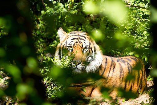 Tiger, Nature, Zoo, Wild, Wildlife, Cat, Feline, Big