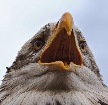 Bald-eagle, Adler, Bird, Bird Of Prey