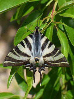 Papilio Machaon, Butterfly Queen, Machaon, Almond Tree