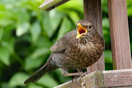 Thrush, Bird, Wildlife, Animal, Feather, Songbird