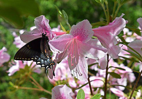 Butterfly In Azalea, Azalea, Swallowtail Butterfly