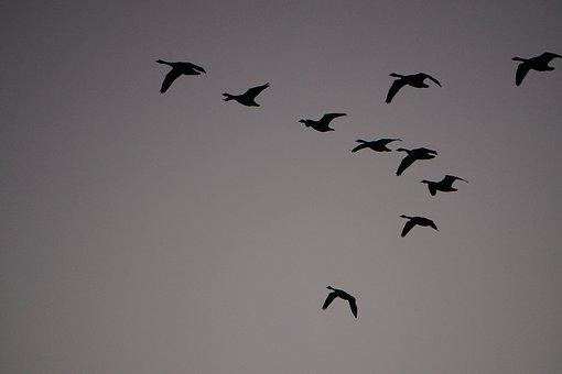 Wild Geese, Sky, Fly, Birds, Nature, Formation