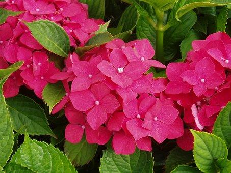 Hydrangea, Red, Flower, Blossom, Bloom