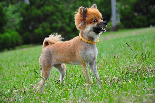 Dog, Chihuahua, Standing