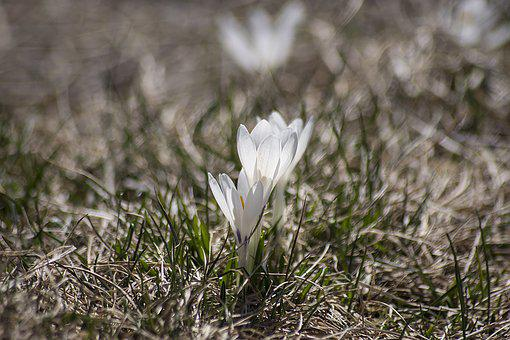 Crocus, Bloom, Spring, Plant, Blossom, Bloom, Flower
