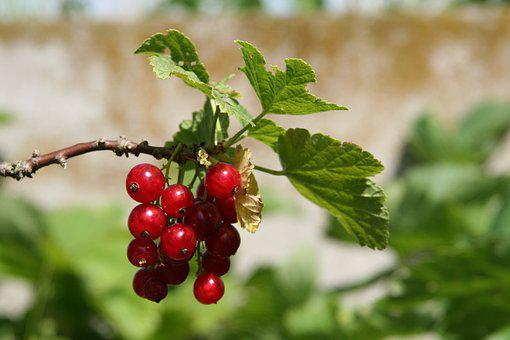 Fruit, Currant, Shrub, Red, Small Fruit, Garden, Nature