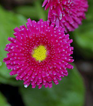 Astra, Aster, Flower, Pink, Yellow, Garden, Plants