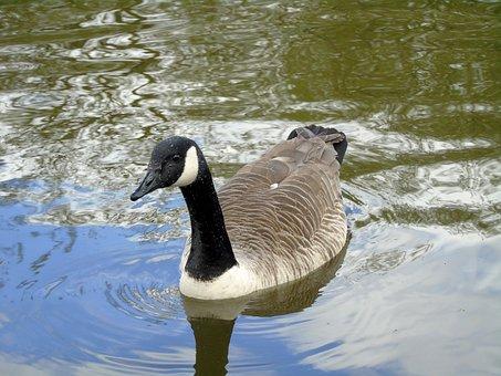 Bernikla Canadian, Bird, Water Bird, Nature, Wild Birds