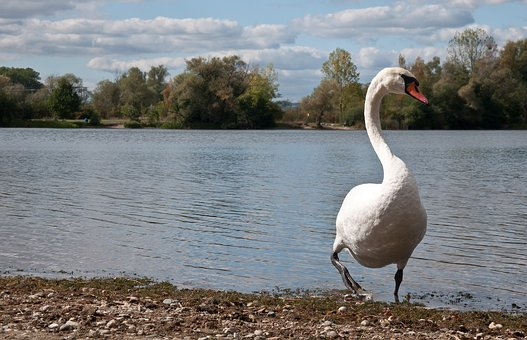 Lake, Swans, Nature, Water Bird, Feather, Water, Clouds