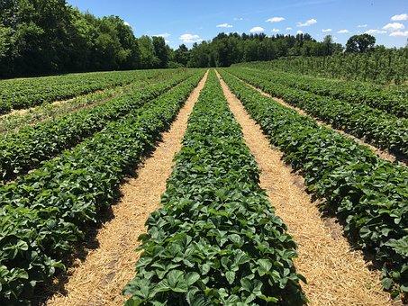 Strawberry Bushes, Green, Plant, Garden, Nature, Bush