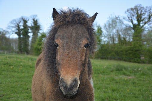 Pony, Equine, Animal, Brown, Mane, Shetland Pony