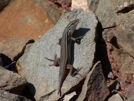Lizard, Sargantana, Reptile, Rocks, Tail Cut