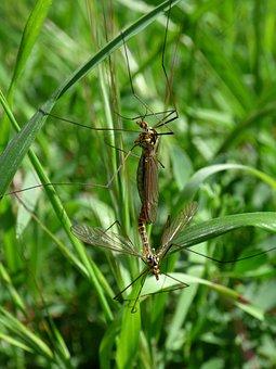 Nephrotoma Quadrifaria, Típula, Tipúlido, Tipulidae