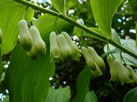 Solomon's Seal, Flowers, Close Up, Flower, White