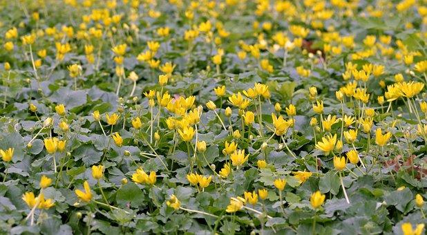 Kaczeniec, Knieć, Marsh, Flower, Yellow, Water, Spring