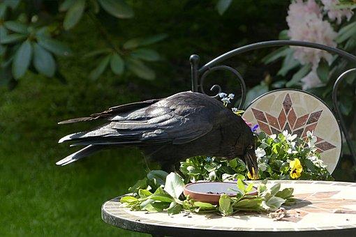 Raven, Bird, Corvus, Black, Foraging, Garden
