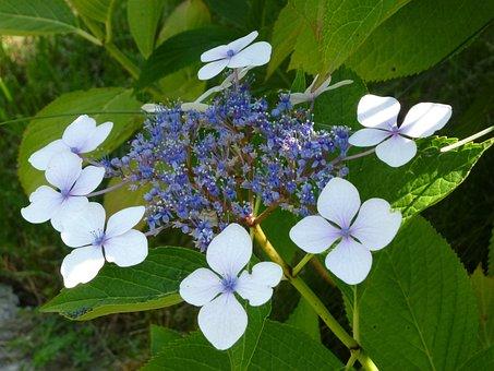 Hydrangea, Flower, Plant, Blossom, Bloom, Garden, Bloom