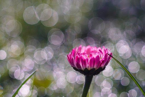 Spring, Morning, Bokeh, Daisy, Bellis Perennis, Macro