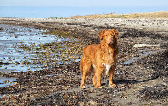 Toller, Beach, Dog, Coastal