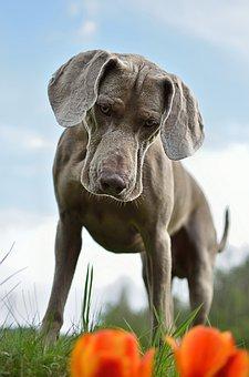 Dog, Weimaraner, Standing Dog