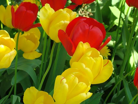 Tulips, Close, Early Bloomer