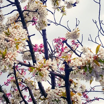 Spring, Tree, Nature, Flowers, Flourished, Sky, Branch