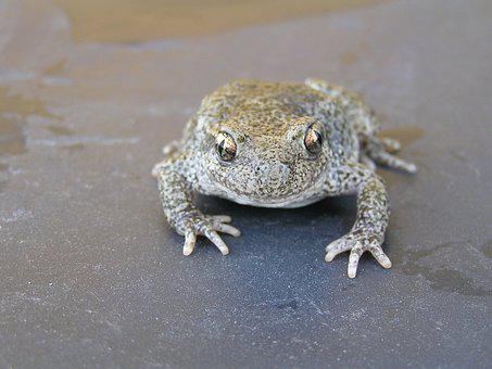 Toad, Frog Mottled, Amphibious