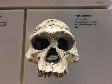 Homo Erectus, Skull, Ancestor, Smithsonian, Evolution