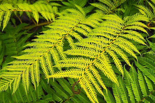 Fern, Plant, Forest Plant, Nature, Leaves, Forest